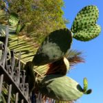 Kaktus in Malta