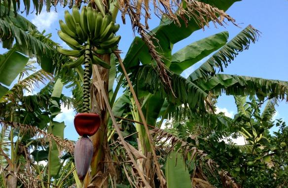 Bananen in Mexiko