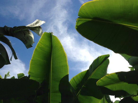 Bananenpflanzen auf La Palma