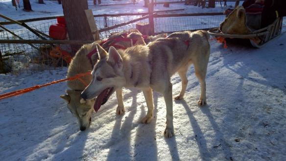 Nokia - Husky in Lappland
