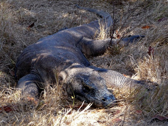 The Komodo dragons look a little bit like crocodiles. They live in ...