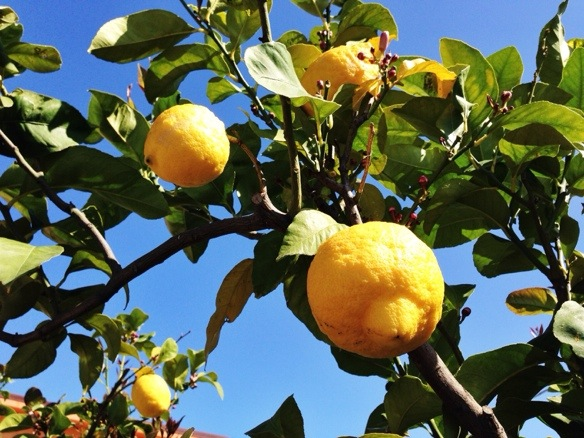 Zitronenbaum auf Sizilien