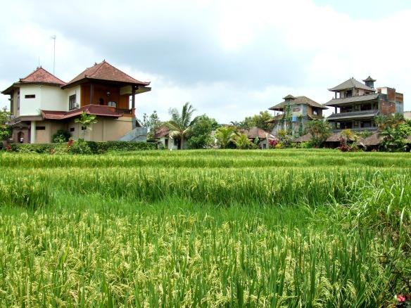 Bali - Reisfeld