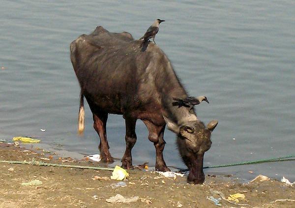 Nordindien - Wasserbüffel