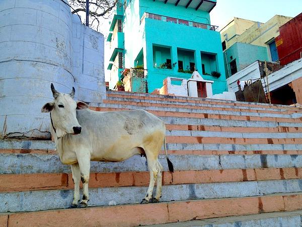 Indien - Heilige Kuh