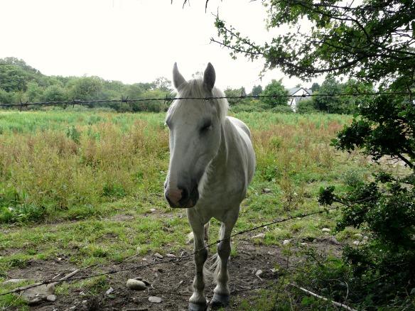 Pferd in Irland
