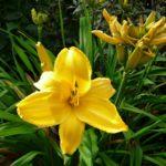 3 Irland - Garinish Island - Gelbe Blume