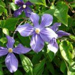 3 Irland - Garinish Island - Lila Blume
