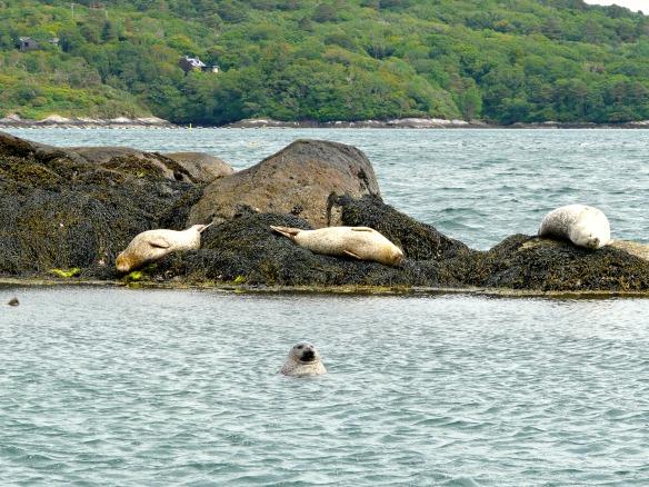 3 Irland - Garinish Island - Seehunde