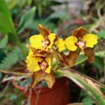Nebelwald in Ecuador - Yunguilla mit Orchideen