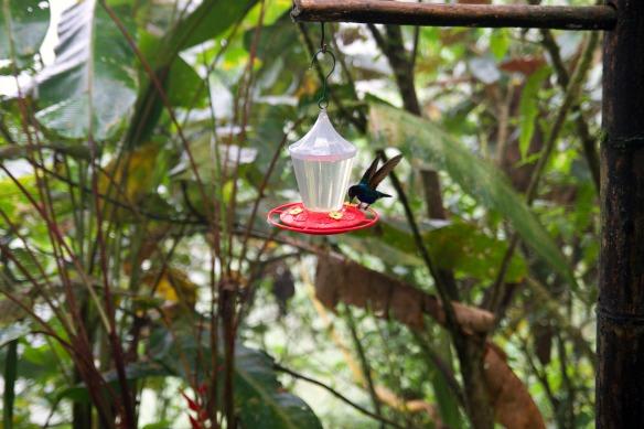 Kolibri in Ecuador