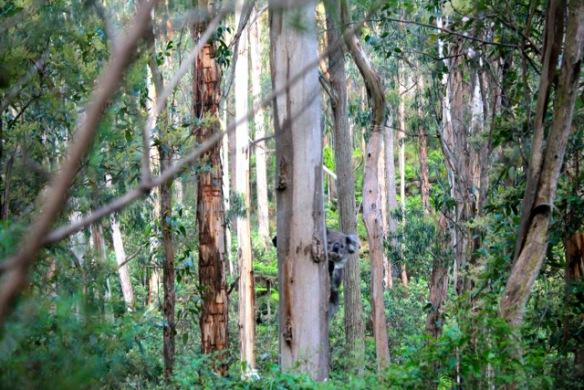 Koala - Walhalla - Australien