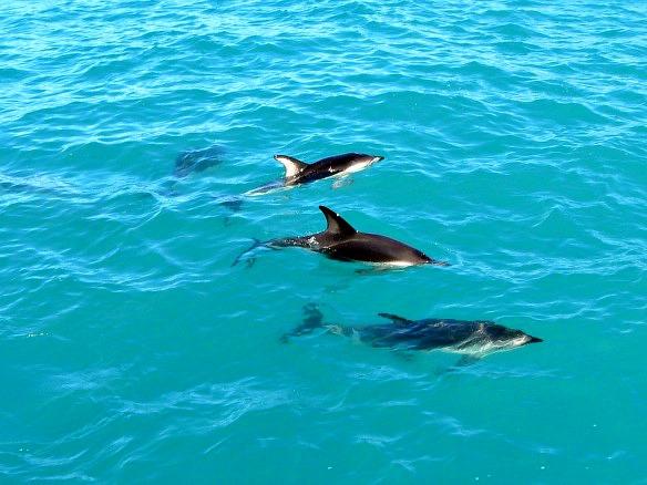 Neuseeland - Kaikoura - Delfin