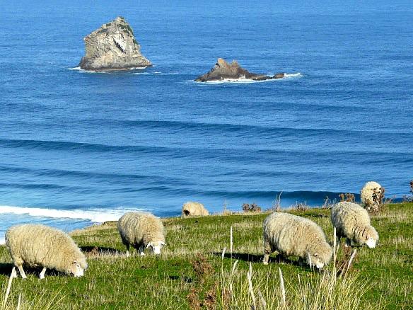 Neuseeland - Schafe