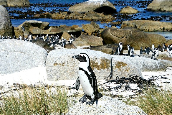 Südafrika - Pinguine Boulders Beach