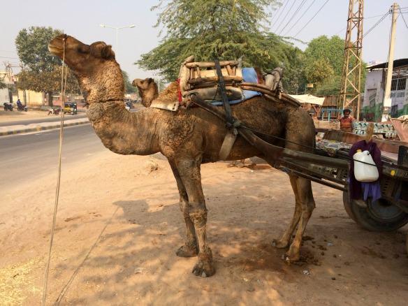 Kamele in Indien