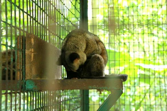 Kopi Luwak Katzenkaffee - Tier