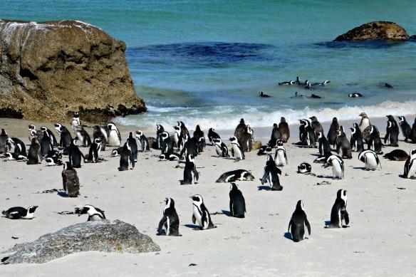 Boulders Beach mit vielen Pinguinen