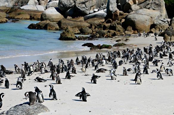 Pinguine bei Kapstadt in Südafrika