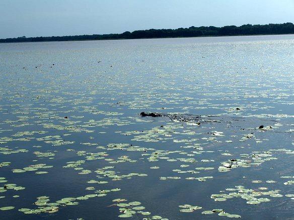 Alligatoren in freier Wildbahn