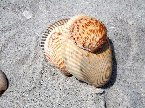 Muscheln in Florida