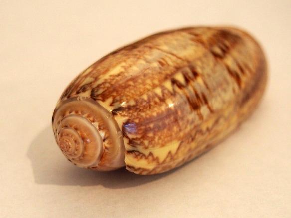 Muschelfund