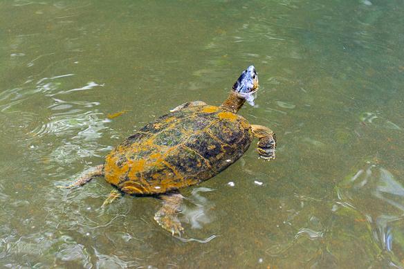 Costa Rica - Schildkröte