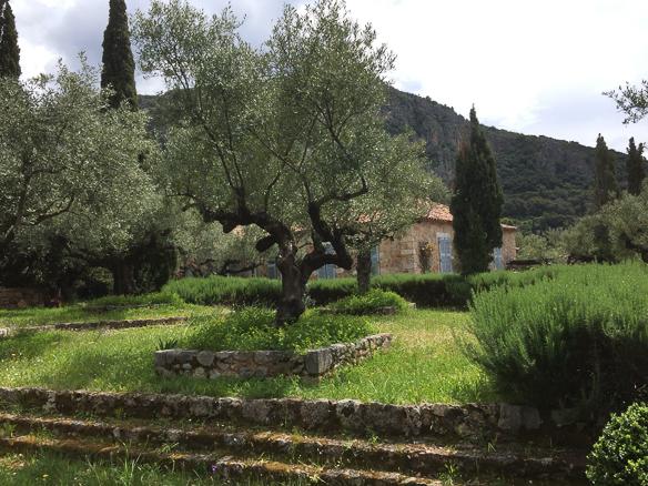 Olivenbaum-2015 (1 von 1)