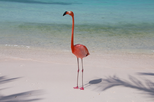 Flamingo - Strand in der Karibik
