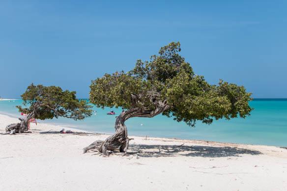 Divi-Divi-Bäume auf Aruba