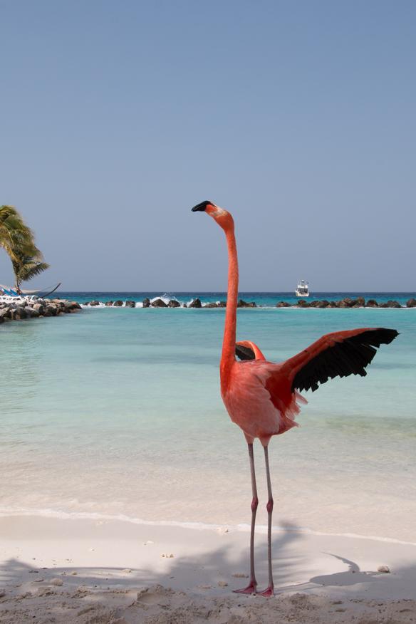 Flamingo bei Aruba
