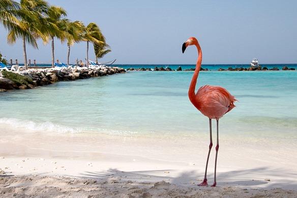 Flamingo auf Aruba