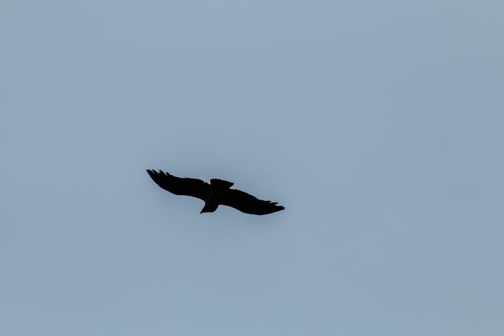 Kondor in Chile