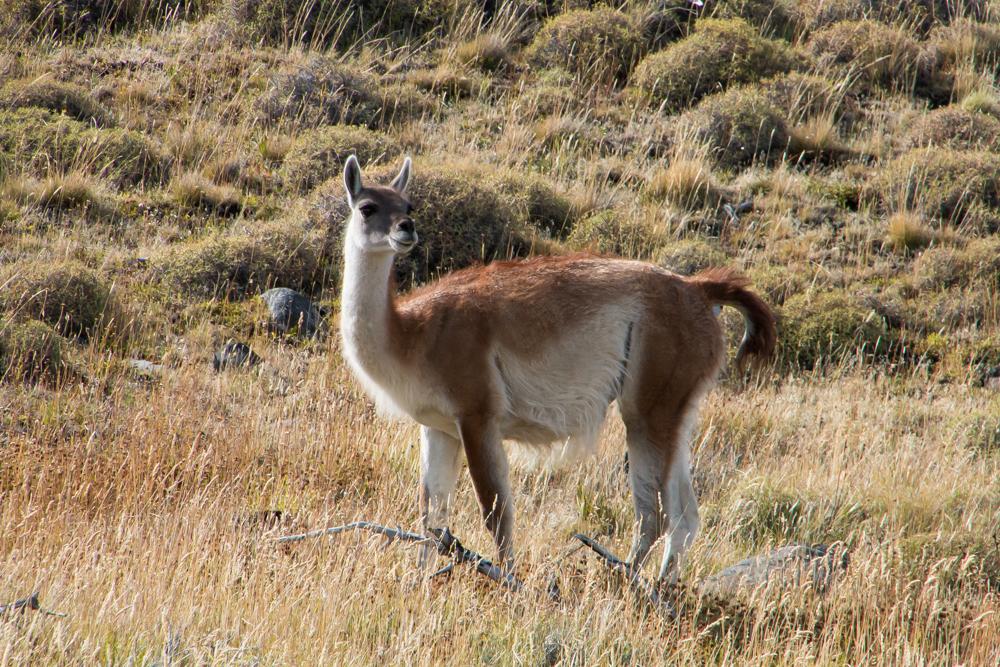 Lama in Patagonien