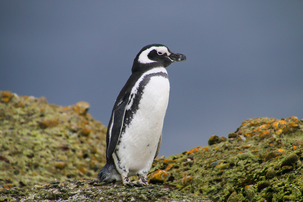 Pinguin in Chile