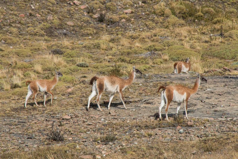 Lamas in Patagonien