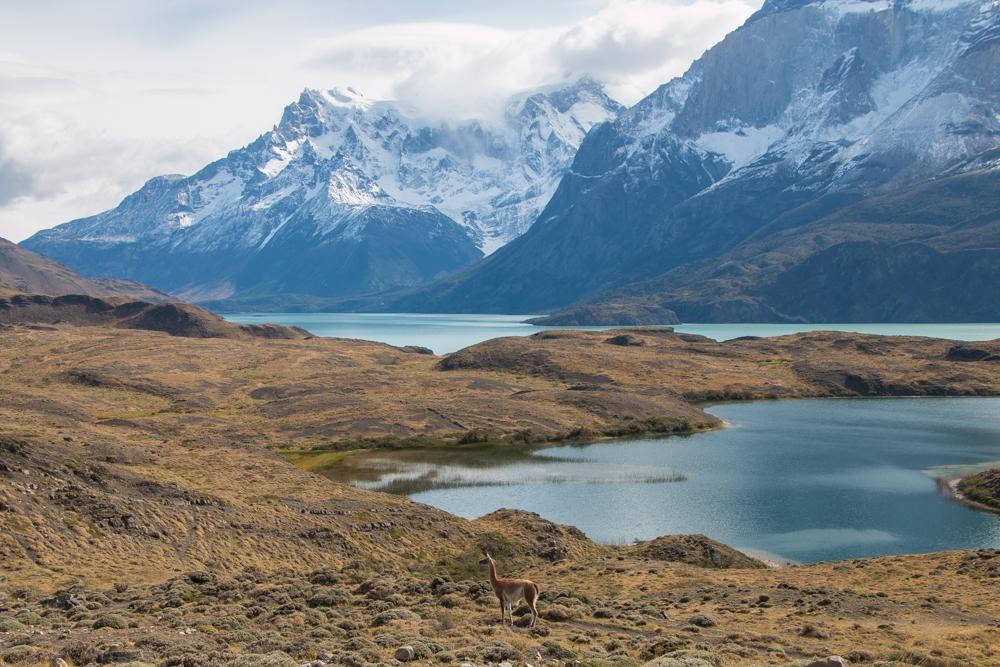 Lama im Torres del Paine Chile