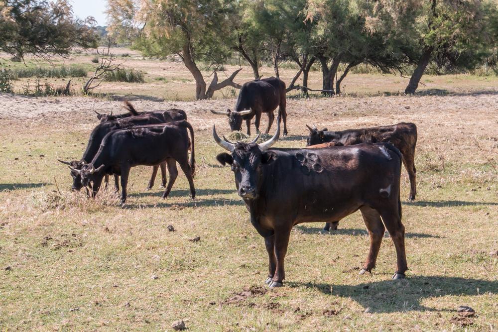 Die Stiere der Camargue