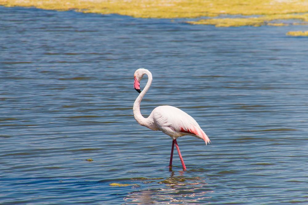 Flamingo - Südfrankreich