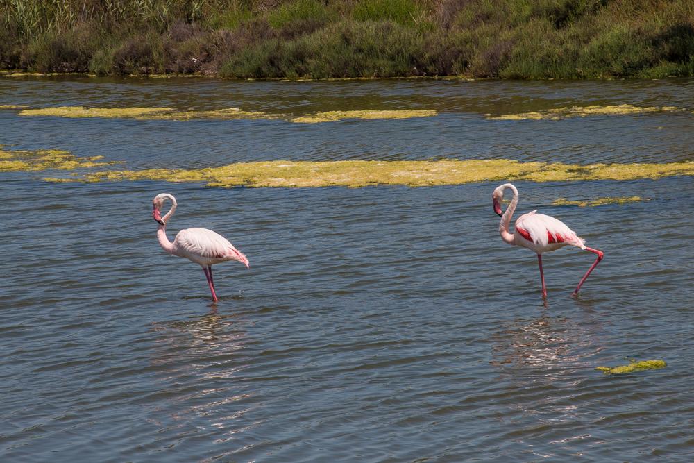 Flamingos in Südfrankreich