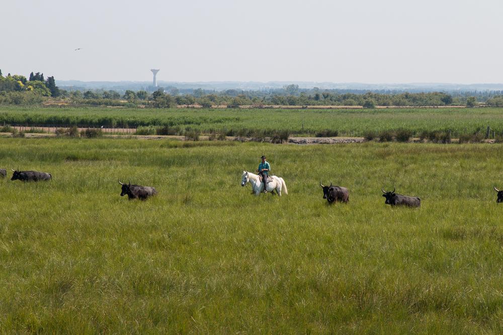 Pferde und Stiere Camargue