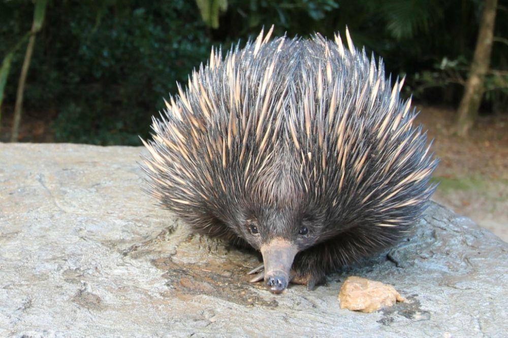 Echidna Australia Zoo