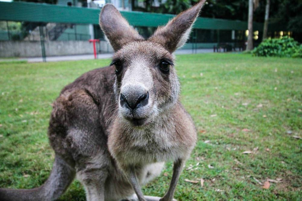 Känguru Australia Zoo