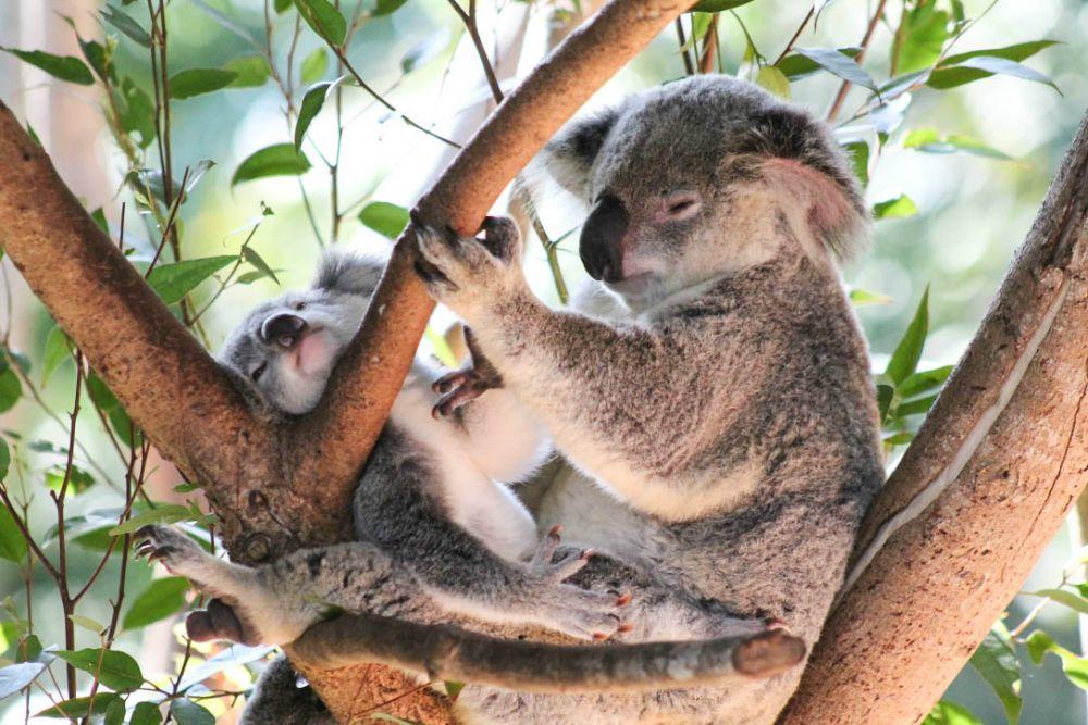 Koalas Australia Zoo