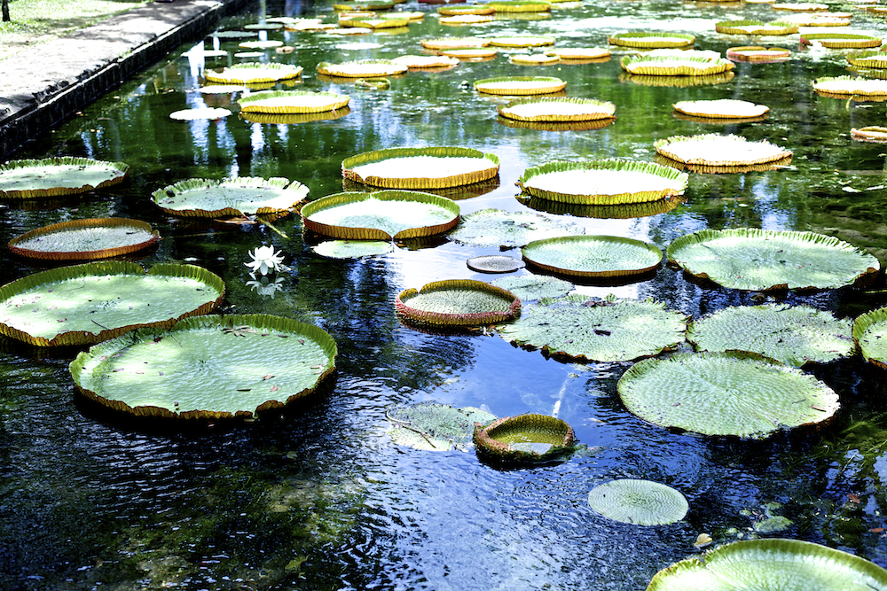 Mauritius Pampelmousses Botanical Garden Seerosen