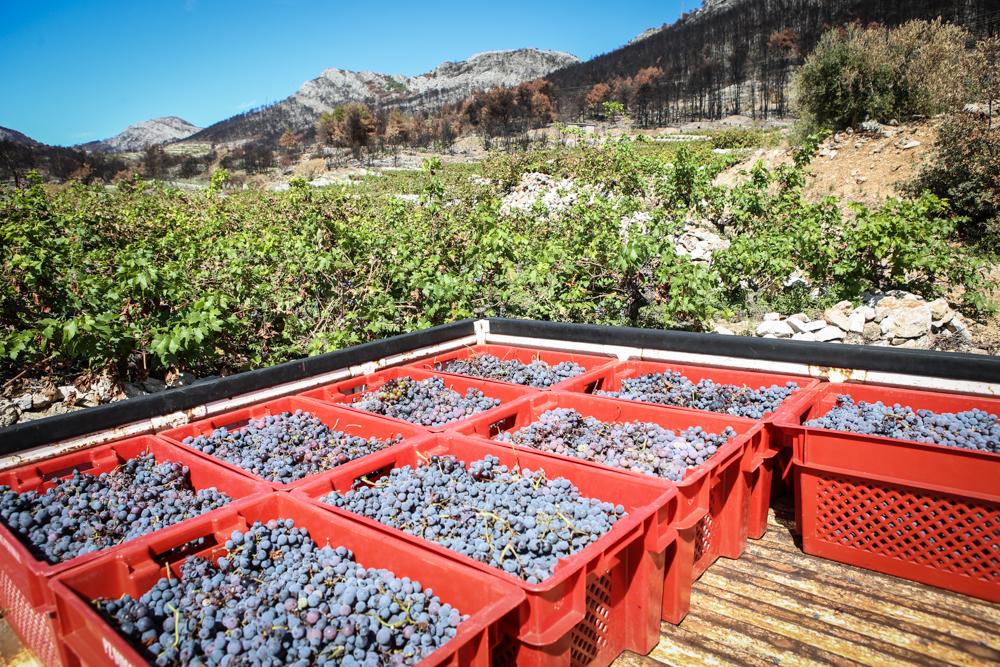 Weintrauben Kroatien
