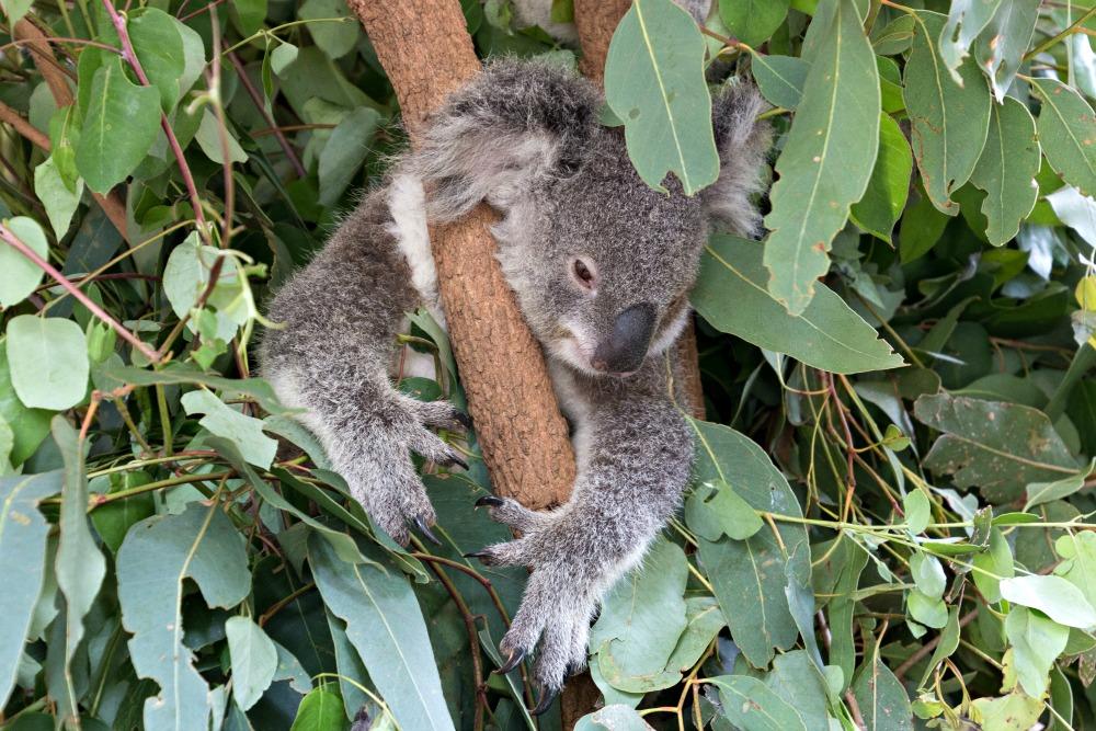 Brisbane: Brisbane Lone Pine Koala Sanctuary
