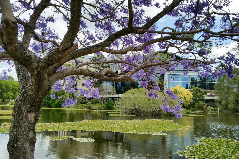 Jacarandas Brisbane Australia