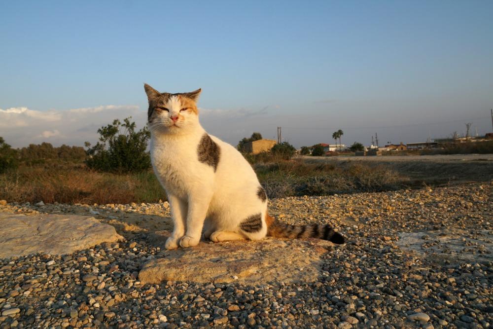 Zypern Katze