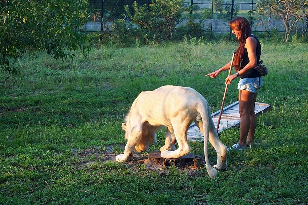 Cheetah's Rock weißer Löwe